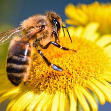 Día Mundial de las Abejas: glifosato, control biológico de plagas y recuperación de polinizadores